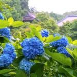 花の山寺 あじさいまつり