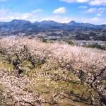 榛名梅林『第28回榛名の梅祭り』