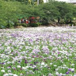 赤堀花しょうぶ園まつり