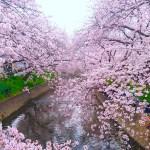 岩倉桜まつり