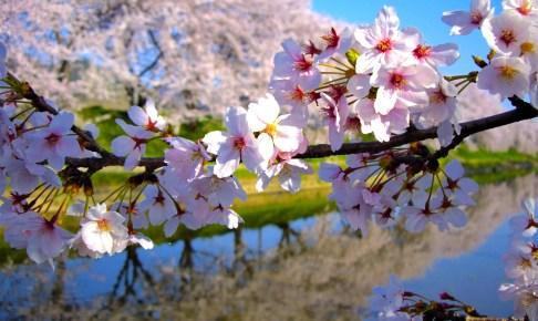 各務原市桜まつり