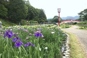 賀茂しょうぶ園『花しょうぶまつり』