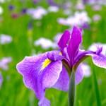清澄庭園『花菖蒲と遊ぶ』