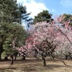 小金井公園うめまつり