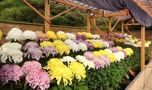 岡山県後楽園菊花大会