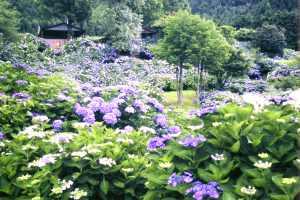舞鶴自然文化園『アジサイまつり』