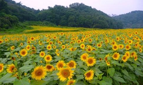 ひまわりの花畑まつり