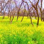 入田ヤナギ林菜の花まつり