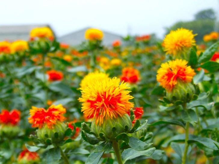 桶川・紅花