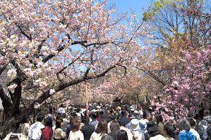 造幣局『桜の通り抜け』