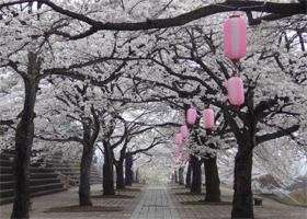 渋川市総合公園桜