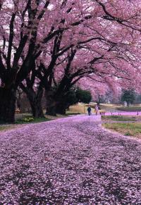 長峰公園桜