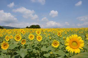 丹生湖周辺ひまわり畑
