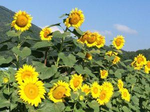 平谷村 ひまわり畑