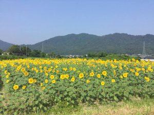 与謝野町ひまわり畑