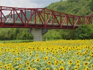 大洲五郎赤橋 ひまわり畑