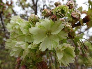 東山動植物園桜