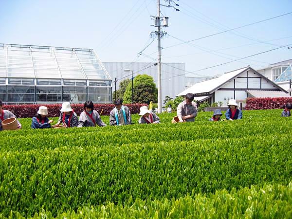 グリンピア牧之原茶摘み体験