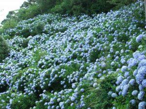 麻綿原高原 紫陽花