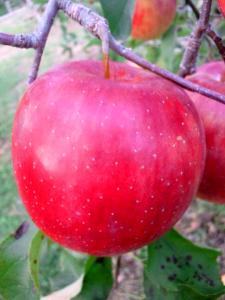 りんごの家山口果樹園