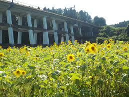 農村ふれあいセンター やまべの郷 ヒマワリ畑