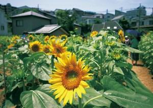 大賀の郷・3万本のひまわり畑