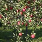 栃木県りんご狩り