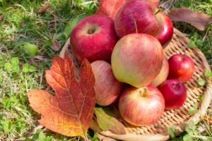 茨城県りんご狩り