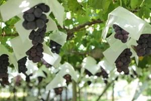 高級果樹栽培 藤原園芸