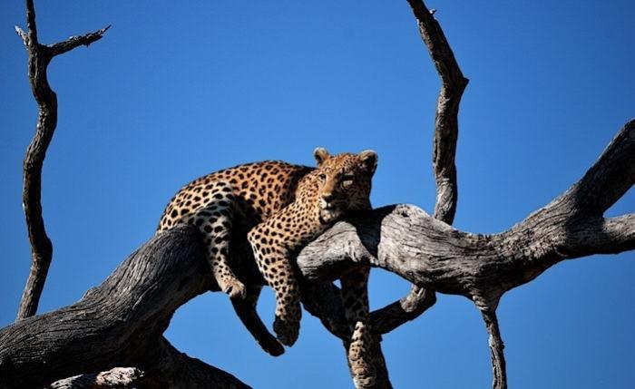 木の上の豹
