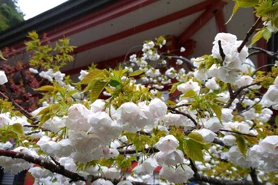 20150216-285-15-kyoto-Cherry-blossoms