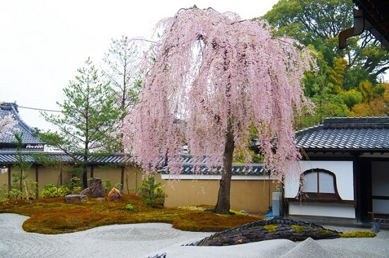 20150216-285-19-kyoto-Cherry-blossoms