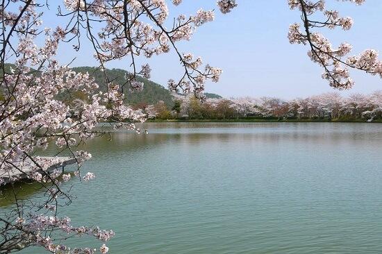20150216-285-28-kyoto-Cherry-blossoms