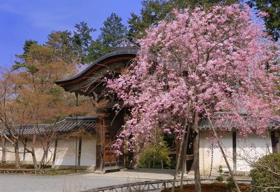 20150216-285-31-kyoto-Cherry-blossoms