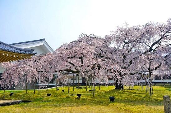 20150216-285-34-kyoto-Cherry-blossoms