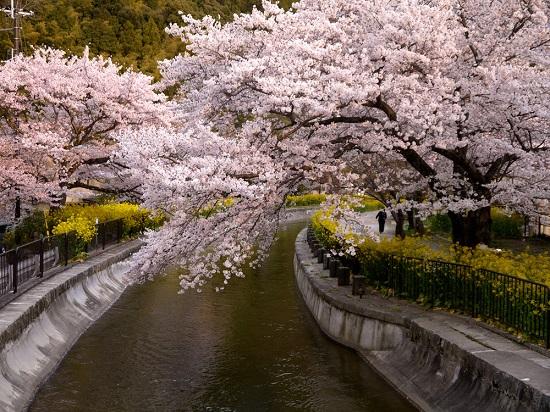 20150216-285-39-kyoto-Cherry-blossoms