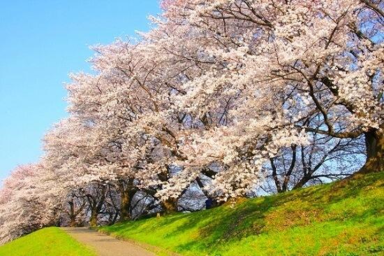 20150216-285-47-kyoto-Cherry-blossoms