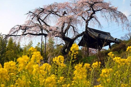 20150216-285-49-kyoto-Cherry-blossoms