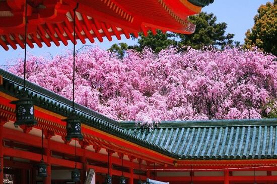 20150216-285-5-kyoto-Cherry-blossoms