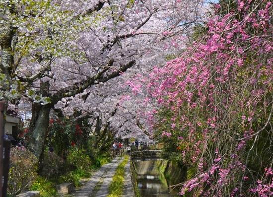 20150216-285-7-kyoto-Cherry-blossoms