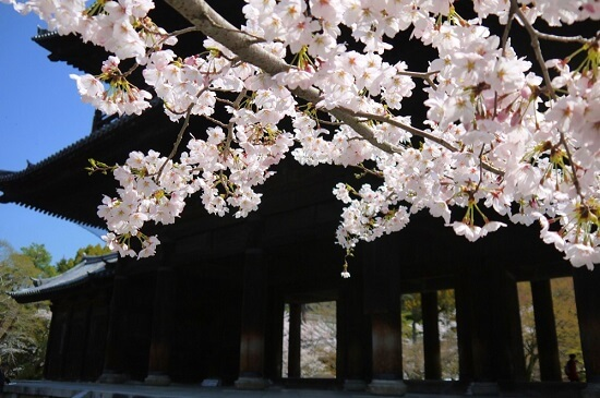 20150216-285-8-kyoto-Cherry-blossoms