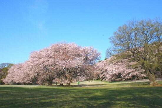 20150220-289-3-tokyo-Cherry-blossoms