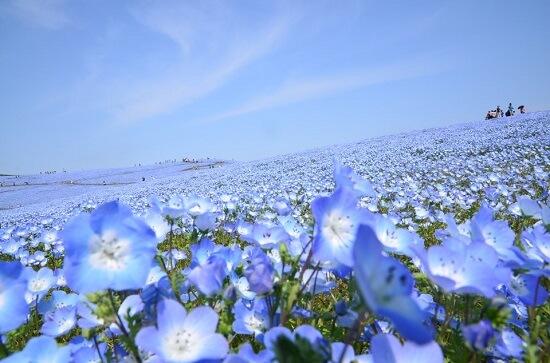 20150325-324-11-Hitachi-Seaside-Park-Japan
