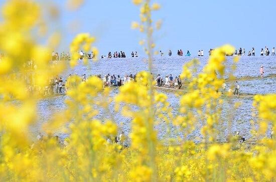20150325-324-9-Hitachi-Seaside-Park-Japan