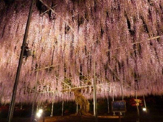 20160320-674-6-ashikaga flower park