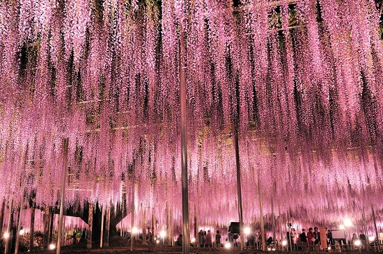 20160320-674-9-ashikaga flower park