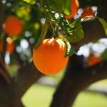 みかん オレンジ 果物