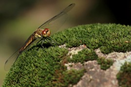 L'automne n'est pas loin, c'était plein de libellules