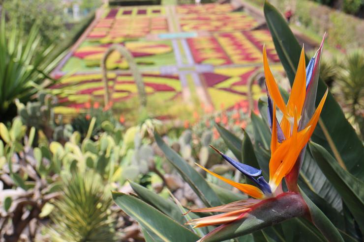 マデイラ植物園の極楽鳥花(ストレリチア)