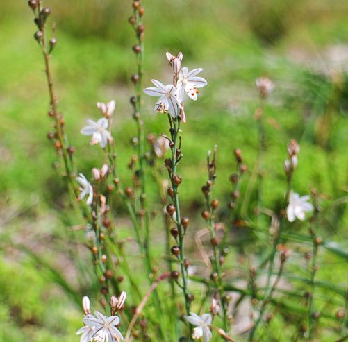 rottnest wildflower